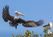 Brown Pelican returning to chick in nest