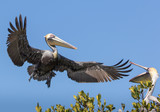 Brown Pelican returning to chick in nest - 192239865