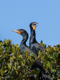 Double-Crested Cormorants in Nest - 192239891