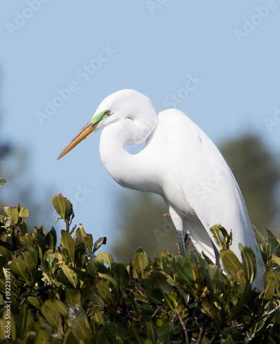 Great Egret Perched