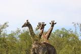 Giraffen - 192240671