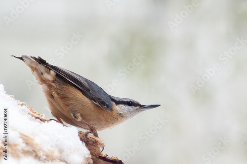 Eurasian nuthatch (Sitta europaea) in the snow, a small passerine bird, blurred gray background with copy space