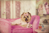 Yorkshire terrier in Pink Robe Lying on Lounge Chair in Dressing Room - 192241072