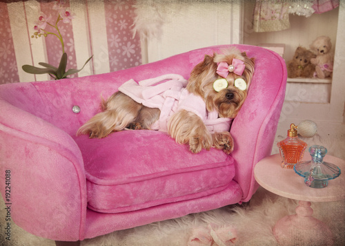 Yorkshire terrier in Pink Robe Lying on Lounge Chair in Dressing Room