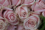 Pale pink roses - 192241445