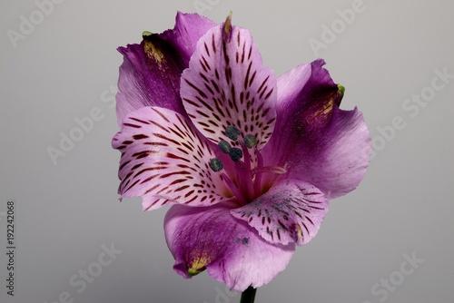 fioletowa-alstroemeria,-kwiat,-biale-tlo
