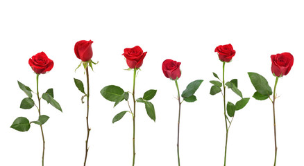 Single Stem Red Roses in a Row Isolated on White