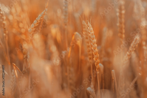 Fotobehang Baksteen Field of wheat, blue sky and sun