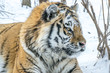 Adult Amur tiger in winter in the frost on the snow in the forest