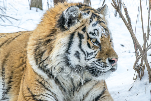 Fotobehang Tijger Adult Amur tiger in winter in the frost on the snow in the forest
