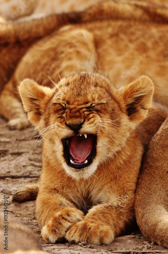 Fotobehang Lion Lion Cub
