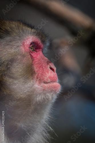 Fotobehang Aap Japanese Macaque - Macaca Fuscata - Portrait