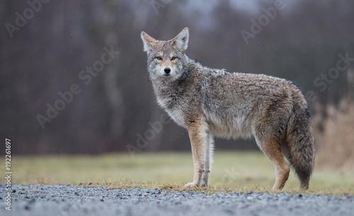 Fotobehang Wolf Coyote