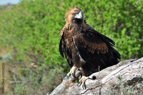 Aluminium Eagle young wedge tailed eagle