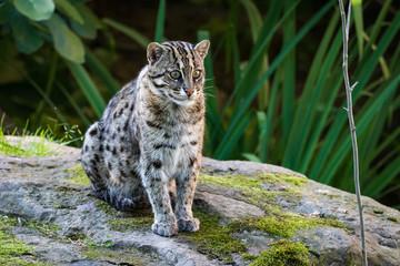 Fishing cat sitting on a rock