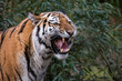 Female Siberian Tiger roaring in front of a bush