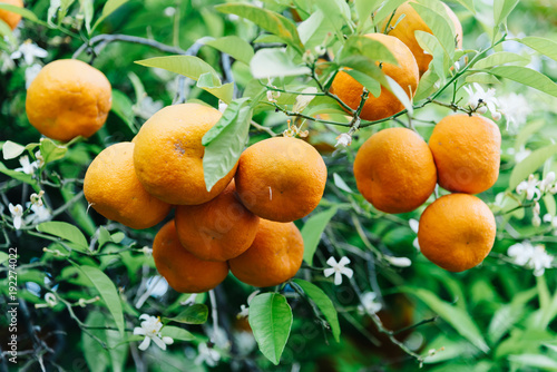 Low angle view of orange tree fruits and leaves