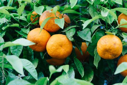 Niskiego kąta widok pomarańczowe drzewne owoc i liście