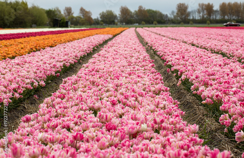 Foto op Canvas Candy roze Tulip fields of the Bollenstreek, South Holland, Netherlands