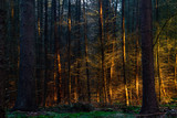 Sunset casts a golden light on some trees in a dark pine forest - 192278059