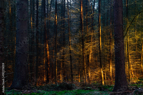 Sunset casts a golden light on some trees in a dark pine forest