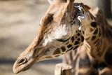 Portrait of beautiful giraffe in nature park - 192279834