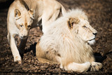 White lion and lioness in nature park - 192279888