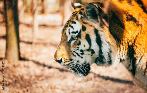 Aluminium Tijger Portrait of big tiger walking in forest