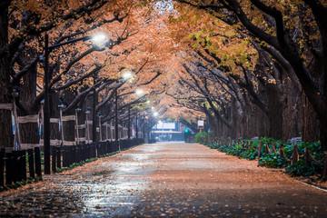Ginkgo line tree at night.