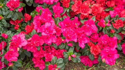 Fotobehang Azalea Red Azalea flower in a garden.