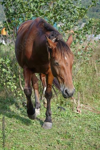Keuken foto achterwand Olijf The Carpathian horse. Mountains of the Carpathians. Transcarpathia