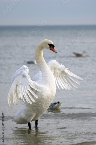 Aluminium Zwaan White swan in the wild