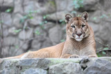Mountain lion laying on rocky pedestal in zoo - 192292039