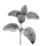 Melissa plant with leaves and flowers. Detailed illustration isolated on white background. - 192292630