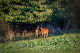 Roe deer and fawn - 192297483