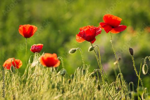 Foto op Plexiglas Klaprozen flowering poppies in the meadow in the backlight