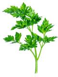 Parsley herb. Macro shot of small branch. - 192302055