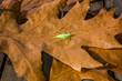 grüner Grashüpfer Langfühlerschrecke