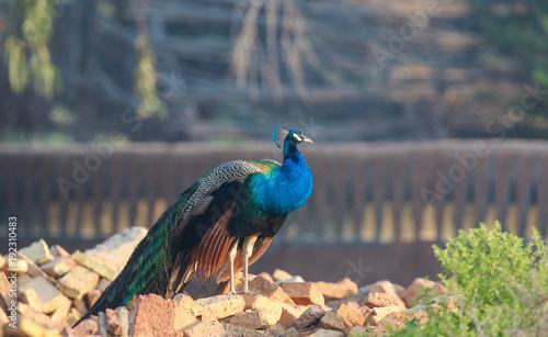 Fotobehang Pauw beautiful colorful peacock