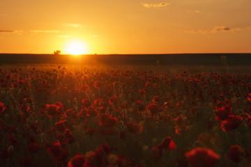 Poppy flower at sunset