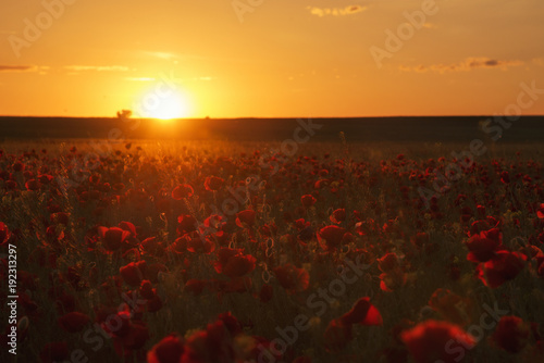 Papiers peints Marron chocolat Poppy flower at sunset