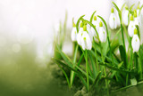 White snowdrop flowers isolated. - 192313642