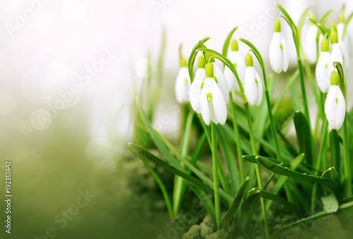 Foto Murales White snowdrop flowers isolated.