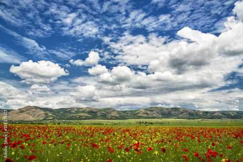 Poppy field in a hot summer day