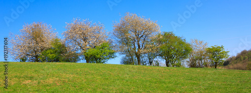 Foto Murales Flowering trees on meadow and blue sky.