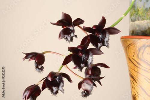 Fototapeta black orchid Fredklarkeara Midnight Lace