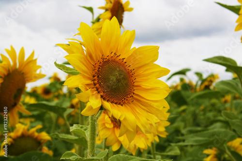 Field sunflower sky
