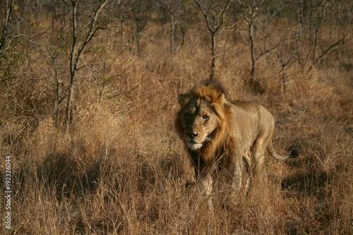 Fotobehang Lion lion, africa, lioness, animal, wildlife, cat, predator, safari,