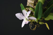 Cattleya walkeriana coerulea orchid on a dark background