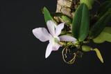 Cattleya walkeriana coerulea orchid on a dark background